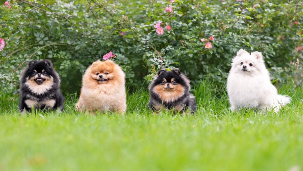 chiens-spitz-nain