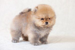 Prix d'un chien Boo (Spitz nain)